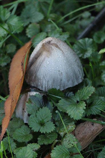 Mushroom After Rain