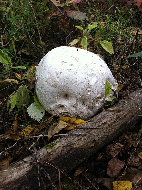 Moon Mushroom by Log