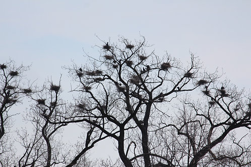 Heron Nests - 2