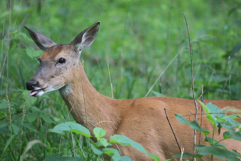 Deer Can Make Silly Faces Too