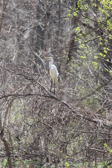 Egret in Tree