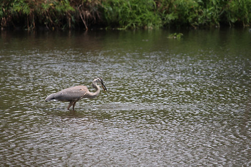 Heron with a Fish
