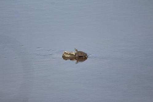 Solo Turtle