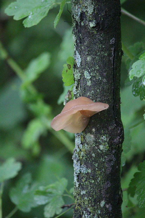 One Tan Mushroom