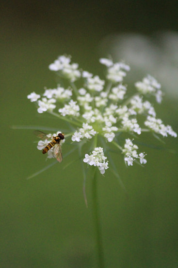 Queen Anne's Lace with bee