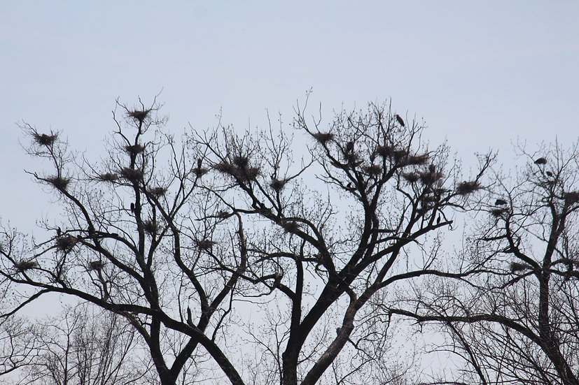 Heron Nests - 1