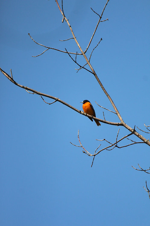 Oriole on a Branch