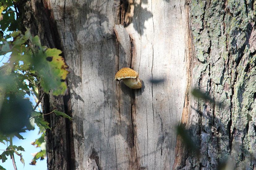 Little Mushroom, Big Tree