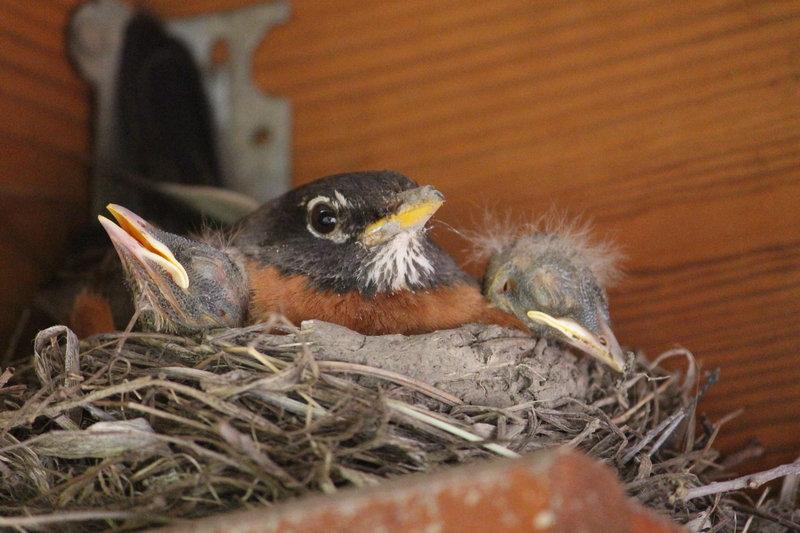 Mom Robin with Babies