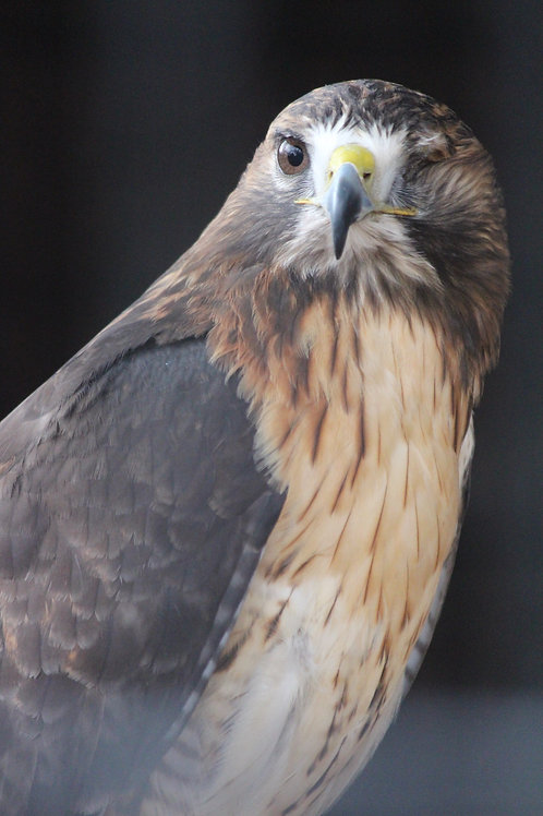 One Eyed Hawk
