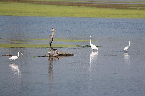 Heron amongst Egrets