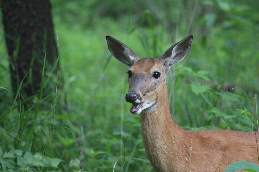 Deer with Open Mouth