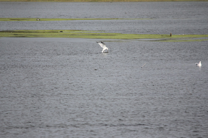 Fishing Gull