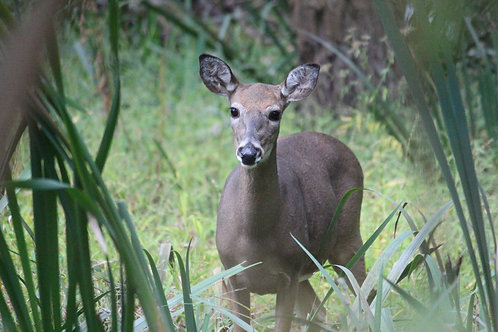 Deer by Tall Grass
