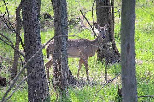Deer by Trees