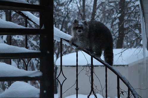 Snowy Raccoon