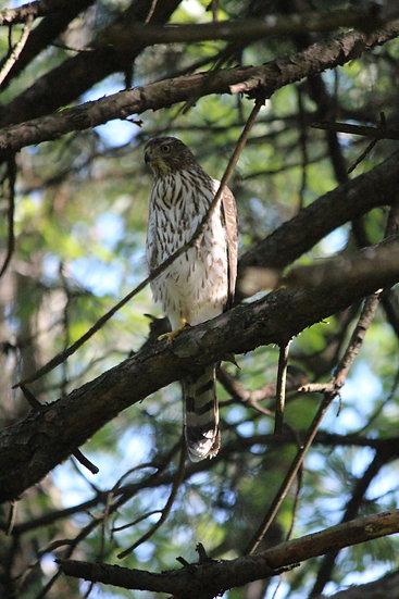Hawk In Tree
