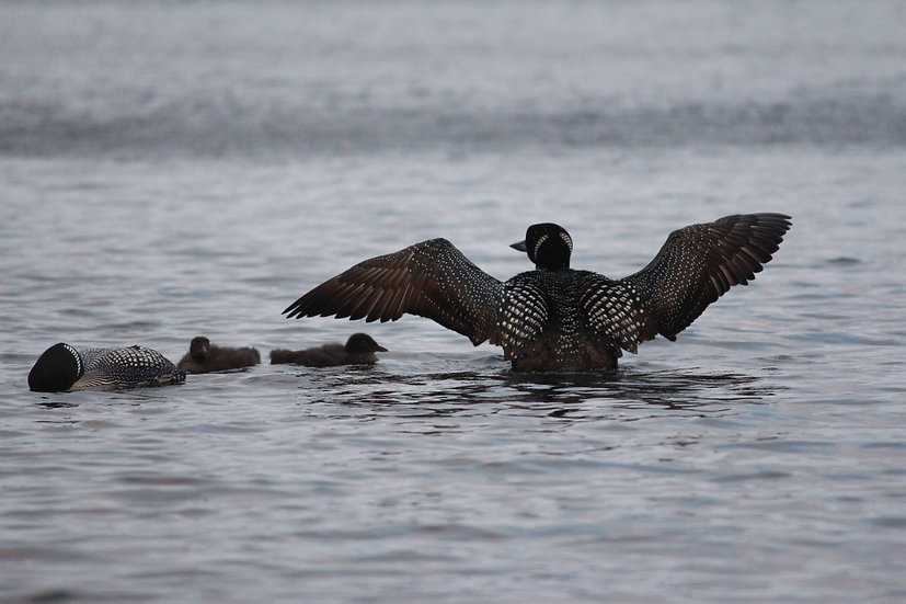 Loons with Babies