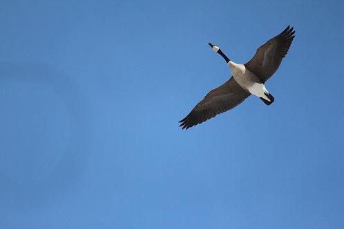 Lone Goose in Flight
