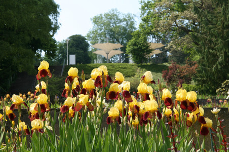 Irisgarten-Iris Accent (10).JPG