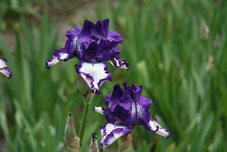 Irisgarten-Iris Stepping Out 02.JPG