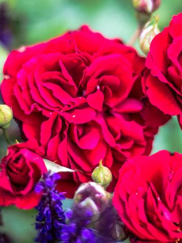 Rosenschönheiten