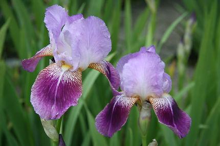 Irisgarten-Iris Froher Sinn (1).JPG