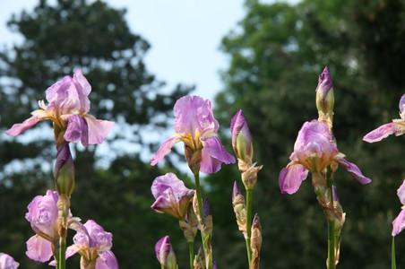 Irisgarten (6).JPG