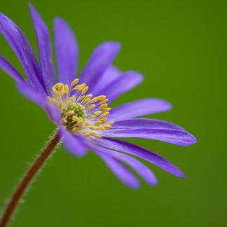 Wind Flower