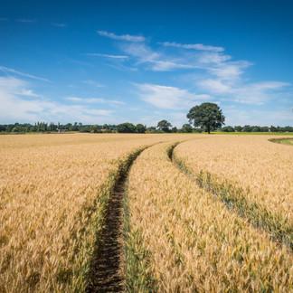 Wheat Field Deadham Vale