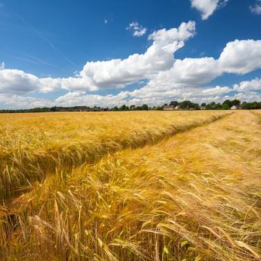 Barley Field Feering