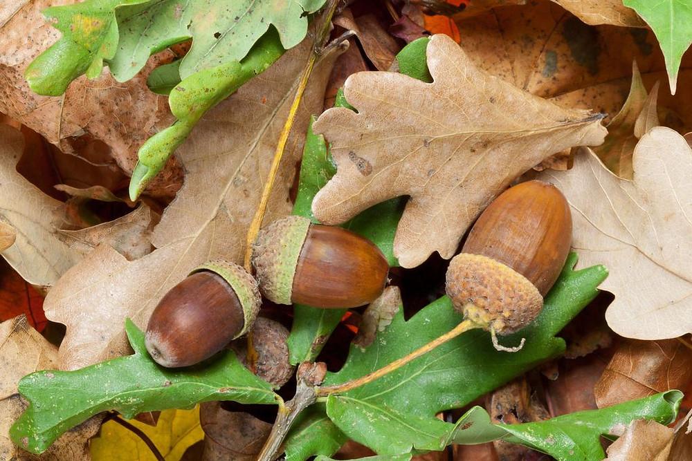 Le gland fruit du chêne est toxique pour les animaux