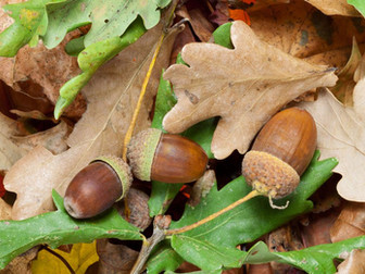 C'est l'automne, attention aux glands !