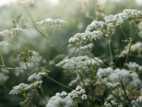 for the love of cow parsley