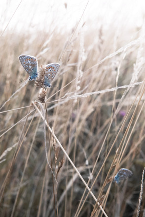 humphrey & grace - chalk hill blue