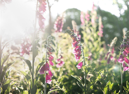 an ode to wild foxgloves & bumblebees