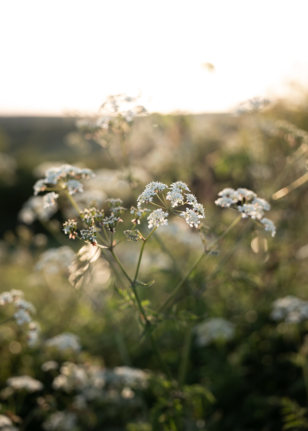 cow parsley on the south downs, Julia Smith