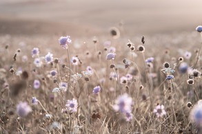 scabious at sunset, South Downs