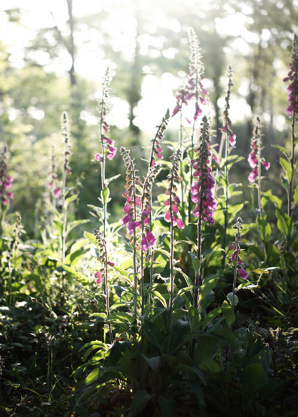 wild foxgloves in the woods of Sussex