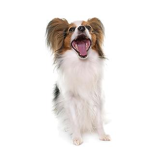 שמירה על הגיינת הפה בכלבים