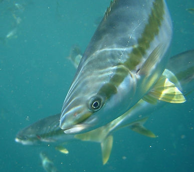 kingfish.JPG