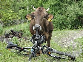 Bicicleta-vaca.jpg