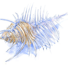 Venus Comb Murex Shell