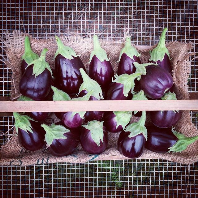 I love harvesting eggplant.jpg