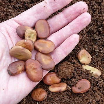Direct seeded broad beans into the garde