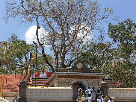 The Jaya Sri Maha Bodhi tree, Sri Lanka