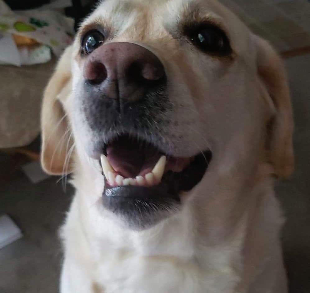 Brandy good girl, yellow labrador