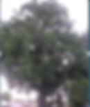 Vlach_Tree.png