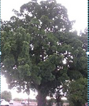 Vlach_Tree.png