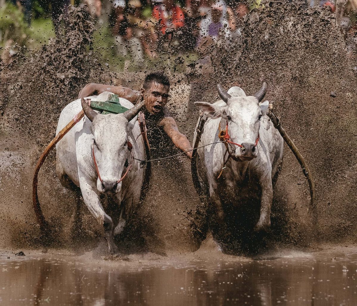 Pacu Jawi: A Traditional Bull Race in Tanah Datar